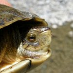 p5300027_w_pond_turtle_wheatfield_fork_mainstem_copy.jpg